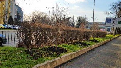 Дърветата са засадени от Билкова аптека в посока Трапезица. Снимка Община Бургас