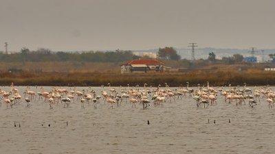 320 фламинга зимуват в Атанасовско езеро