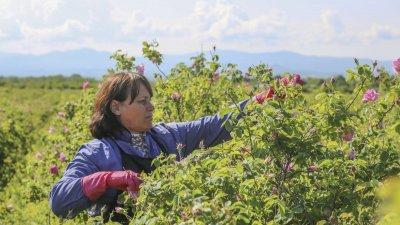Помощта за маслодайна роза -до 200 лв./ха
