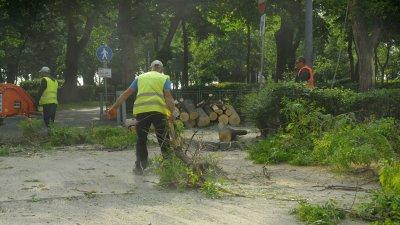На мястото на старите дървета, след като бъде довършен ремонта, ще бъдат засадени нови. Снимки Черноморие-бг