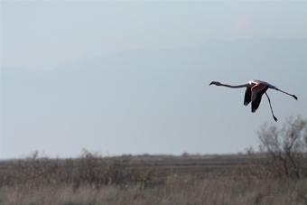 bdzp_rozovo_flamingo