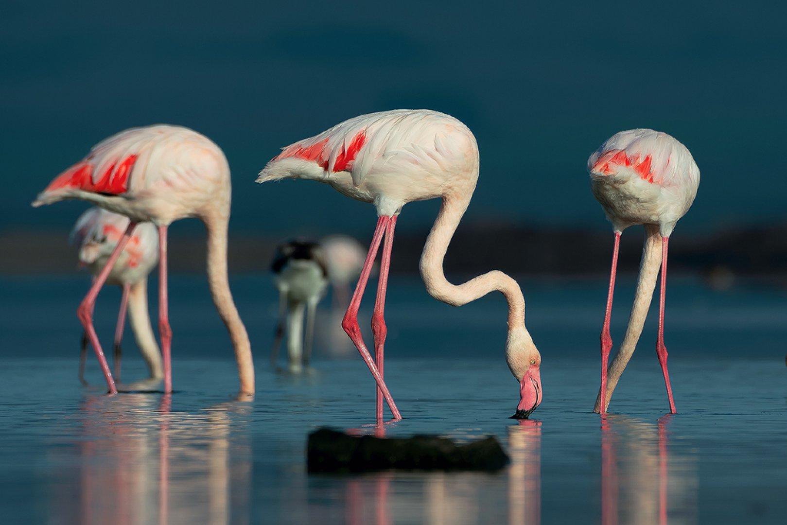 Розовото фламинго е сред най-красивите птици и може да се види и в Атанасовското езеро. Снимки Драгомир Георгиев