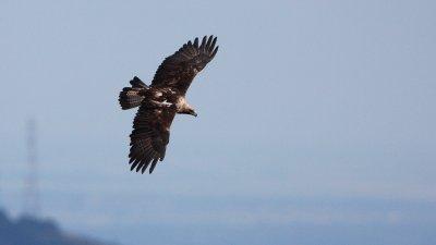 Новите двойки са открити от експерта на БДЗП в опазването на хищните птици
