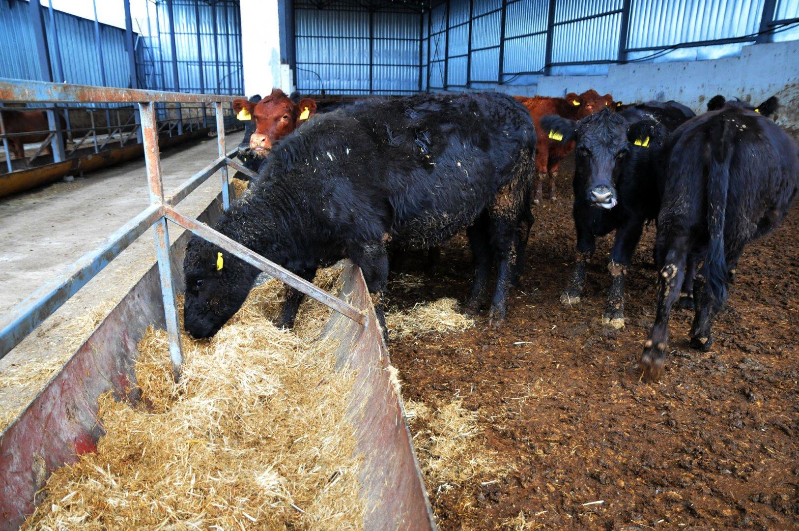 Кравите са от две породи и се отглеждат, заради месото им. Снимки Черноморие-бг