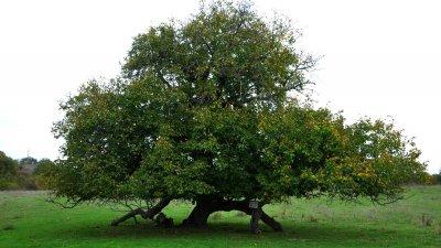 Дървото е обявено за вековно през 1967 година. Снимки Черноморие-бг