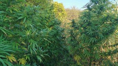Конопените растения са около три метра високи. Снимка ОД на МВР