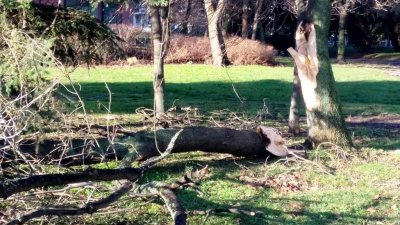 Счупените части на дърветата се премахват от екипи на Общината. Снимки Община Бургас