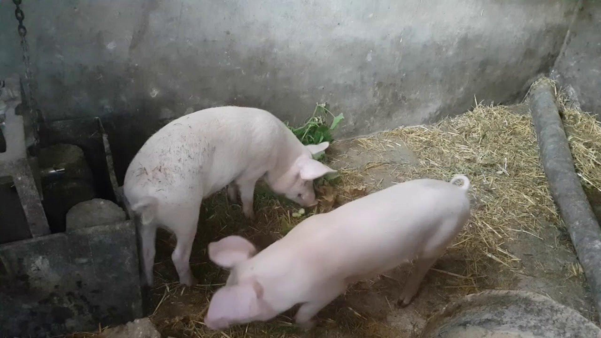 Мерките се вземат, за да се спре разпространението на болестта африканска чума по свинете
