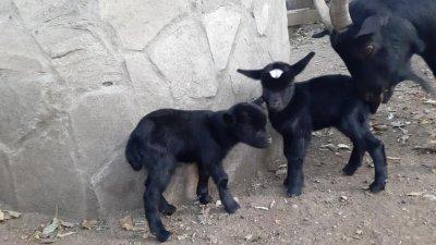 Козлетата са родени на 3-ти ноември. Снимка Община Варна